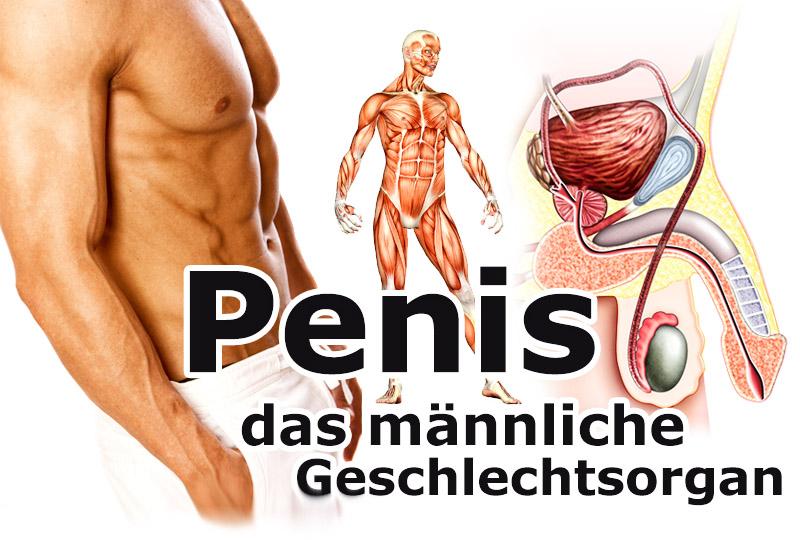 Penis - das männliche Geschlechtsorgan
